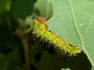 Copaxa lavendera caterpillar