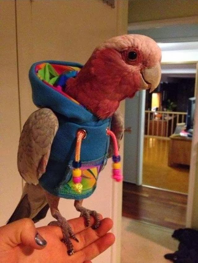 Funny animals of the week - 20 December 2013 (40 pics), parrot wears hoodie