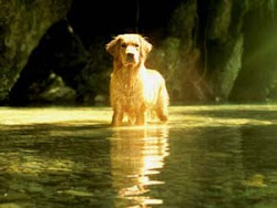 ♥ My Golden Retriever ♥
