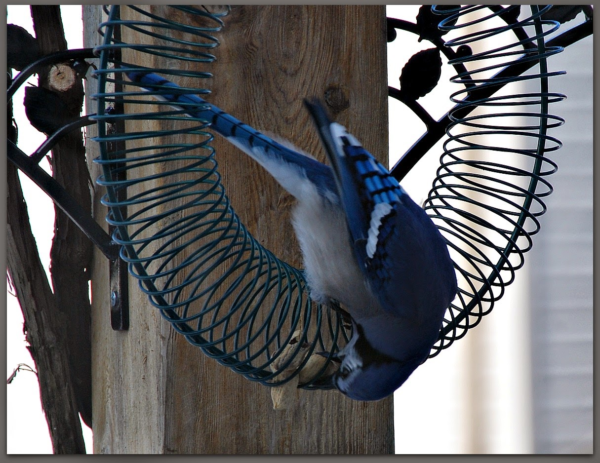 A blue jay takes a peanut from a feeder
