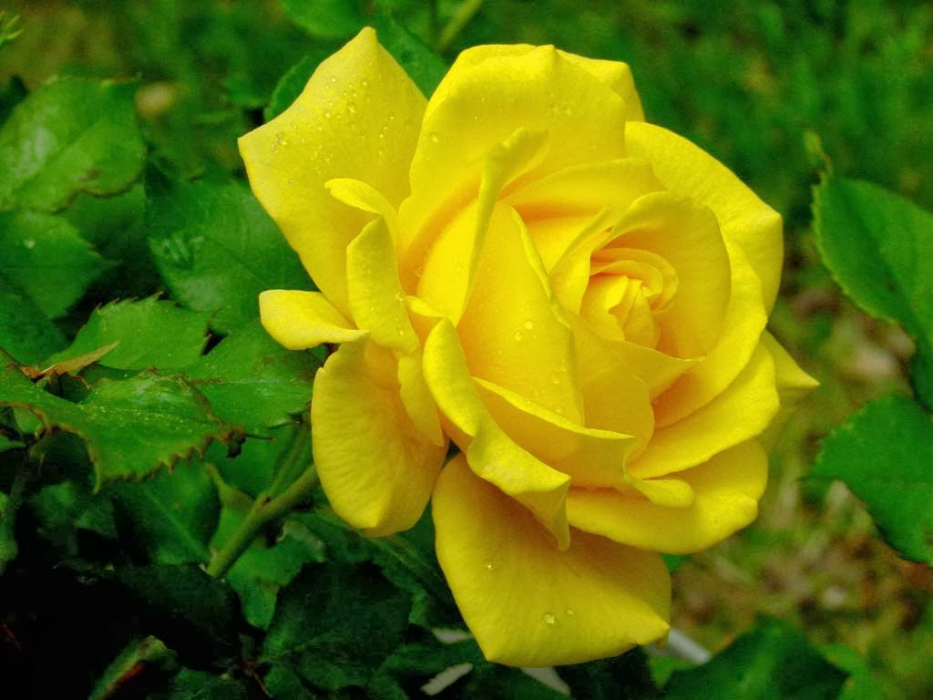 Beautiful Yellow Rose Flowers Hd Wallpapers