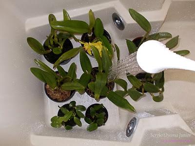 Rega de orquídeas em apartamento