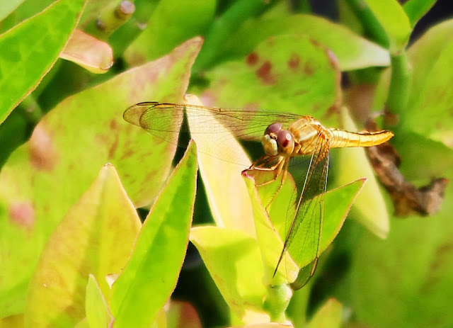 gold dragonfly on leaf