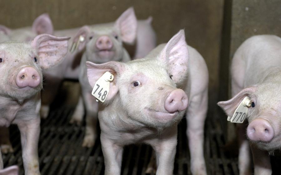 Los cerdos tienen cerebro de niños de 3 años y son tan listos, leales y cariñosos como los perros.