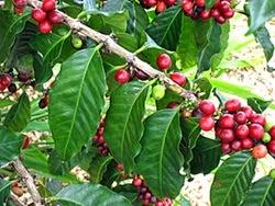Planta de Coffea arabica
