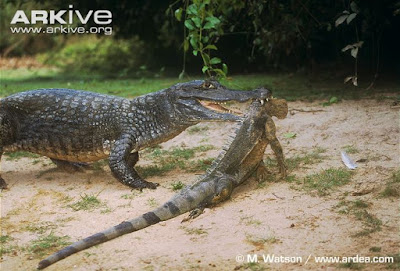 Spectacled Caiman and Green Iguana