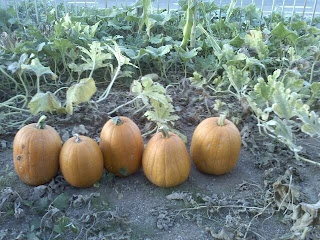 jack pumpkins