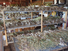 garlic drying on racks