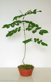 http://fotobabij.blogspot.com/2015/05/moje-bonsai-jesion-zwyczajny-wallpaper.html