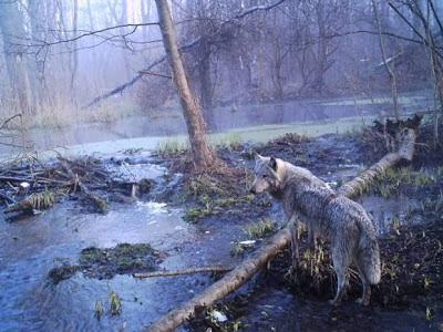 wolf of chernobyl