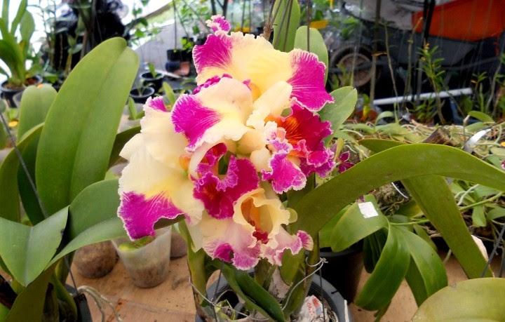 Bunga orkid - Pameran MAHA