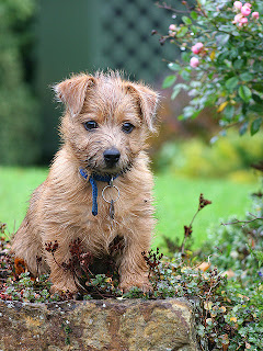 Norfolk Terrier Puppy Picture