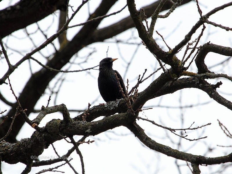 Common Starling on the Hainberg