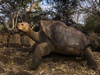 Lonesome George Wallpaper