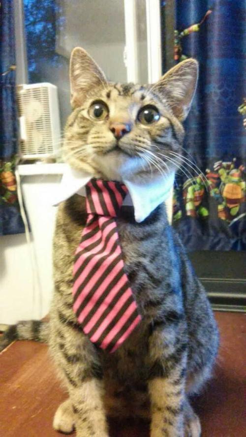Коты в галстуках картинки