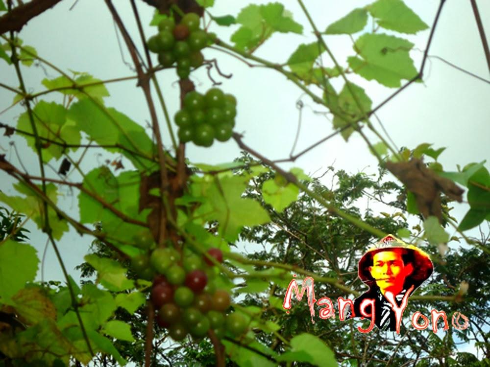 Pohon Anggur Saya Berbuah Rutin.