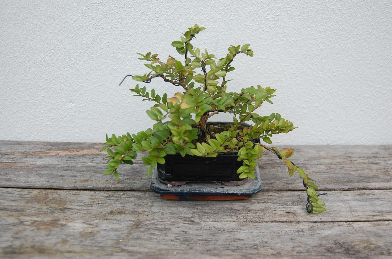 Learning Bonsai
