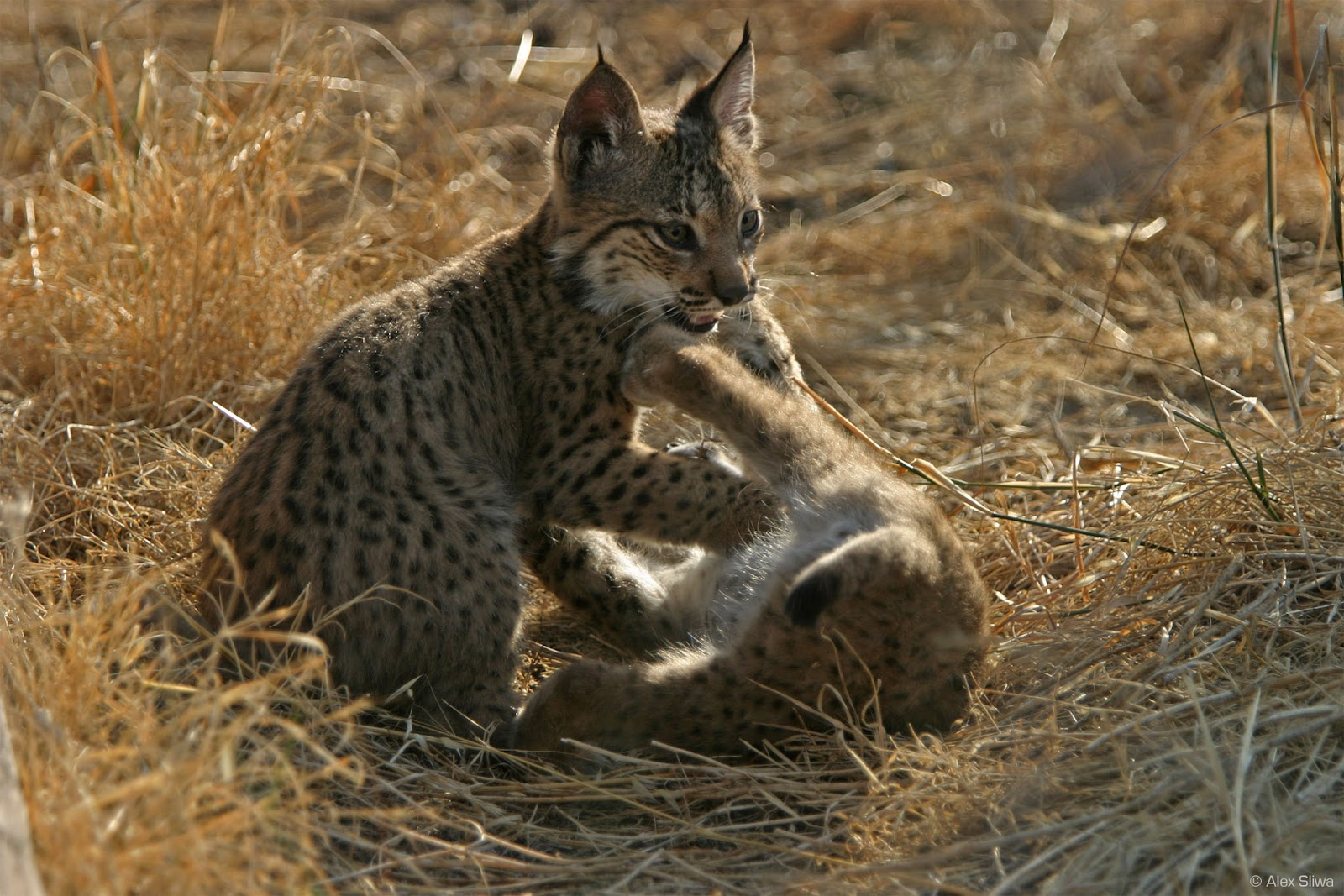 Iberian Lynx on endangered species red wolf