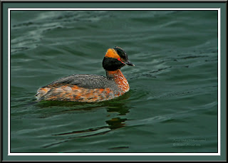 Image of a Horned Grebe by Vladimir Morozov