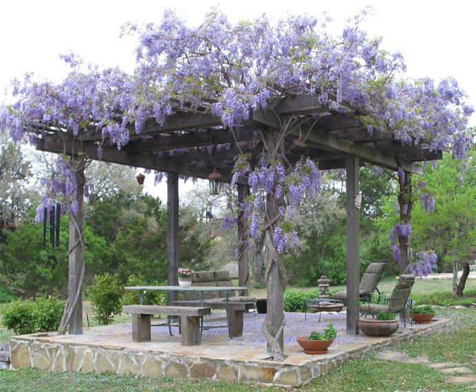 Pergola With Vines : Clematis Vine On Pergola Images & Pictures - Becuo