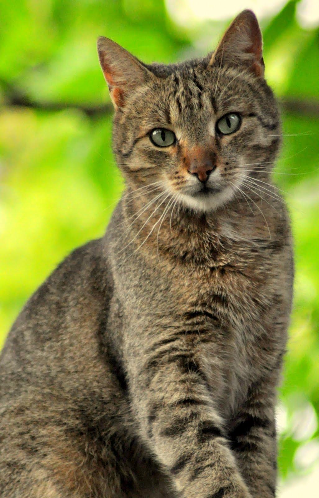 white siberian cat blue eyes
