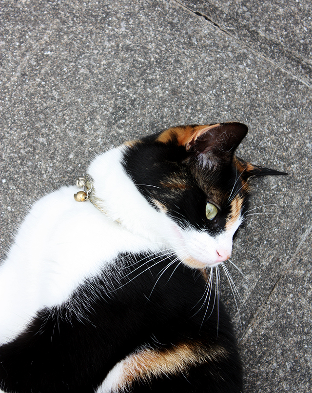 photo of tortoiseshell cat, ava