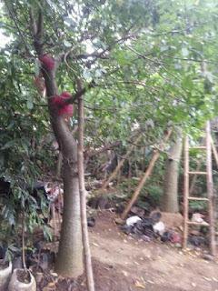 pohon adansonia digitata kaki gajah