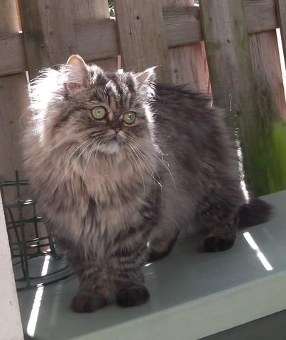 Les chats le persan - Chat qui perd pas ses poils ...
