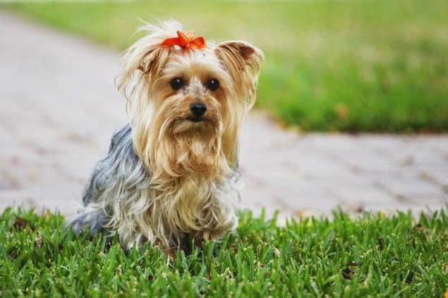 Yorkshire Terrier Nj Miniature Yorks...