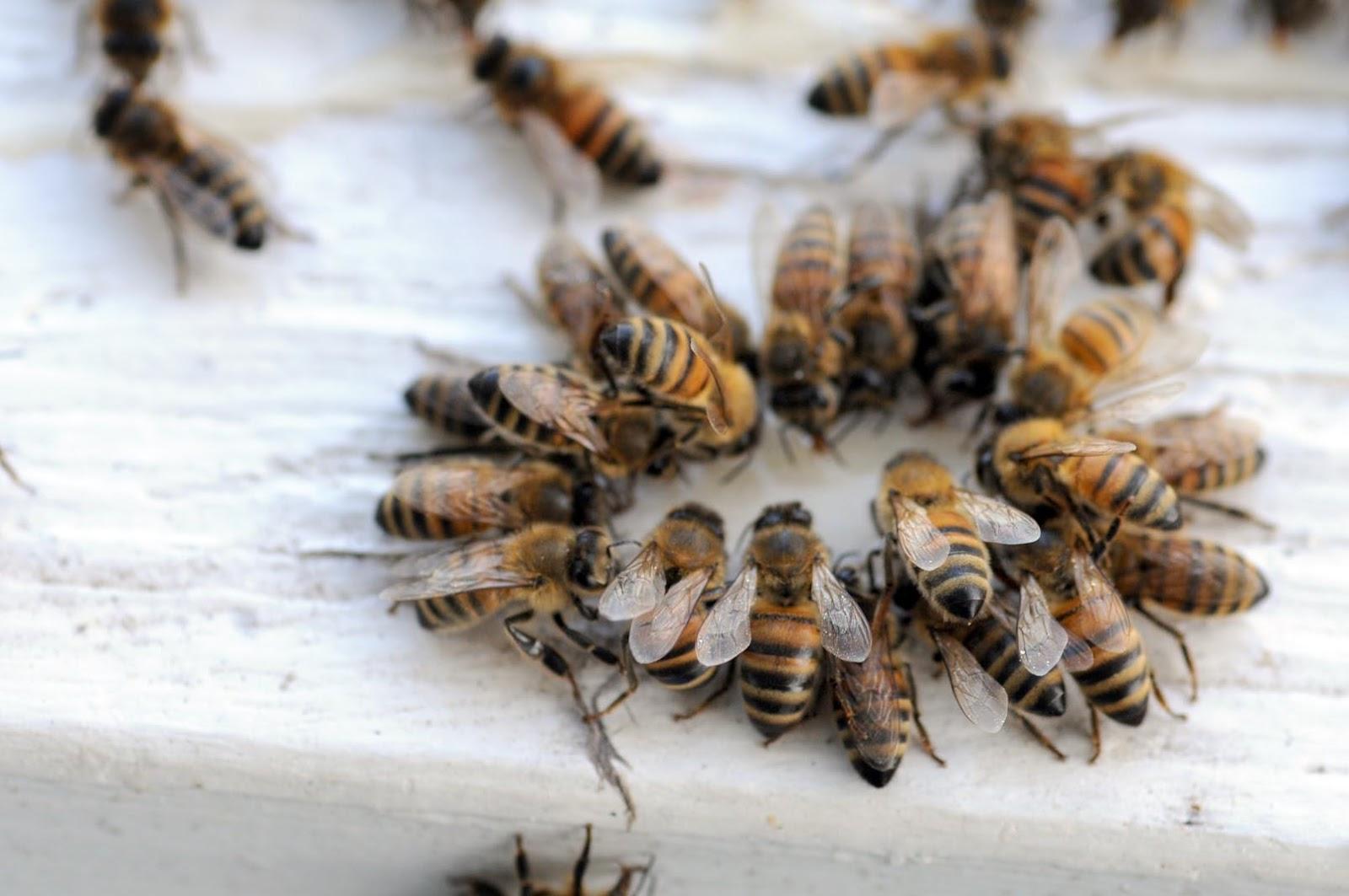 Bal arısı, Arı anatomisi, Arı organları, Arıcılık,