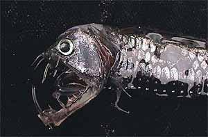Fauna Abisal(Peces raros)