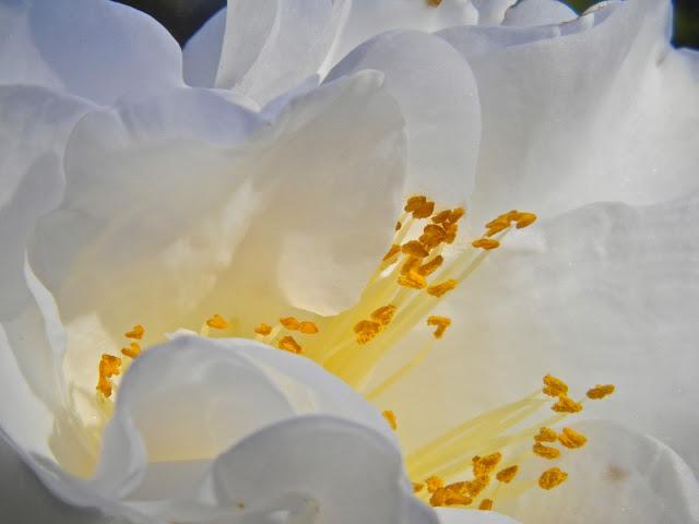 White camellia japonica