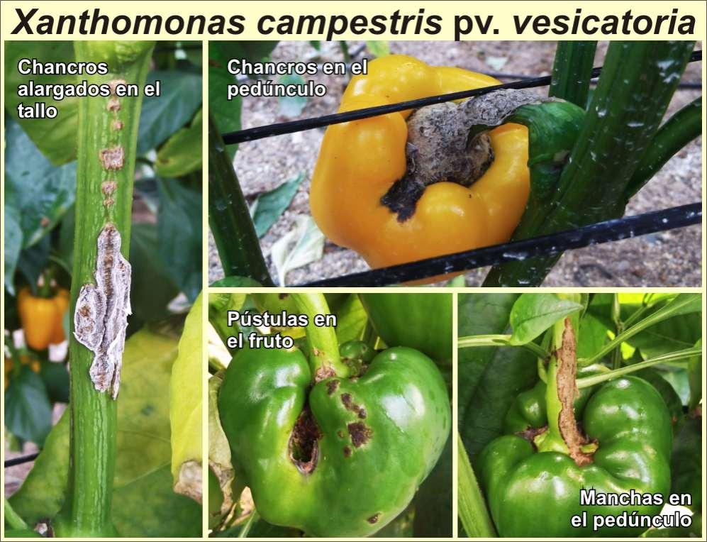 Bacteria: Xantomona Xanthomonas%2Bcampestris%2Bpv%2Bvesicatoria%2B03