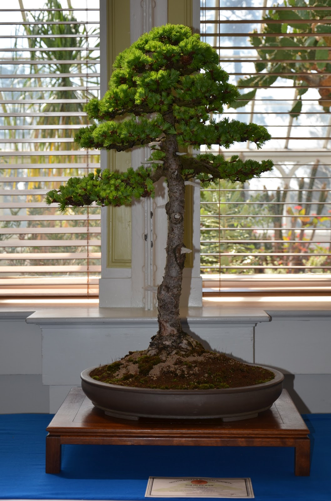 Steve Tolley39s Bonsai And Suiseki Blog June 2013