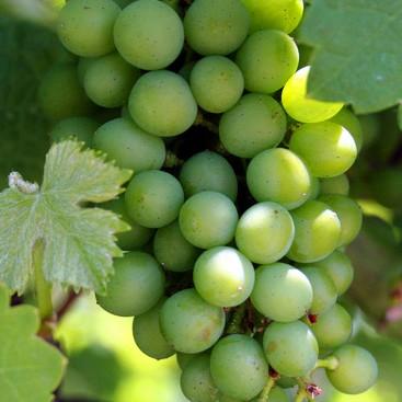 bagikan kepada anda buah anggur gambar anggur gambar buah anggur