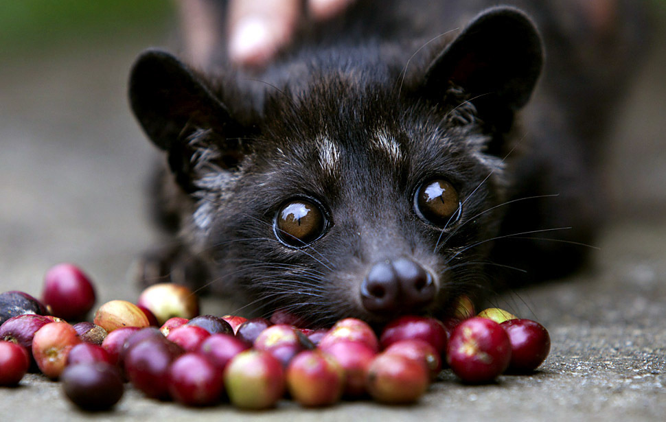 Kopi Luwak is the most expensive coffee in the world at $600 per pound. The beans have been ingested and defecated by the Asian palm civet.