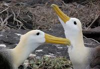 Albatross Esganola Island Galapagos Suarez Point