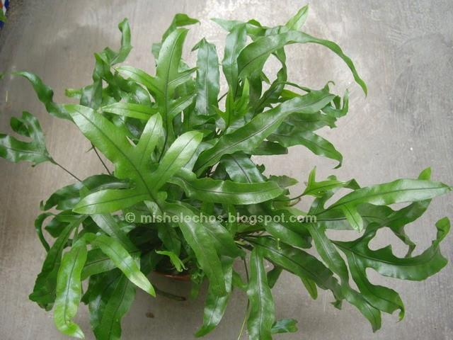 Mis helechos pteris cretica for Plantas ornamentales helechos