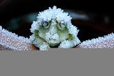 מנפלאות הבריאה | צפרדע העץ הקפואה