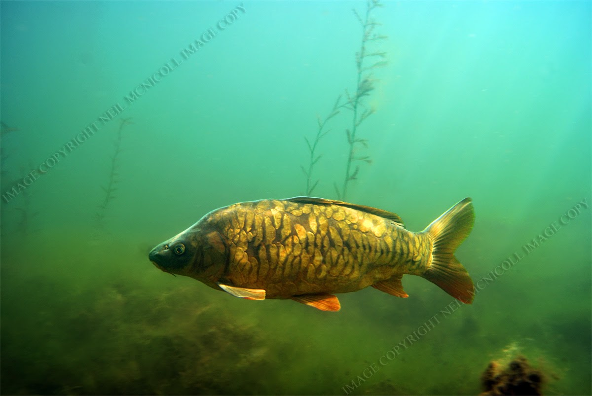 The gallery for underwater freshwater fish photography for Tilapia swimming