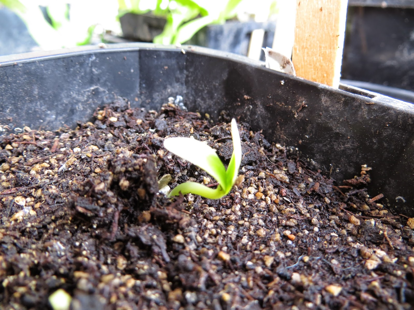 cucumber seed sprouting