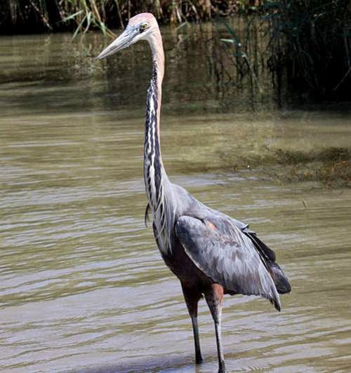 Indian birds - Ardea goliath