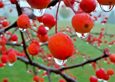 close up view of morning dew drops on the red berries of a tree