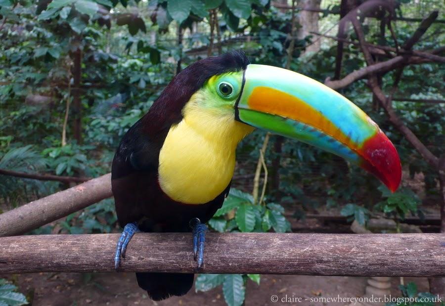 Toucan - Copan, Honduras