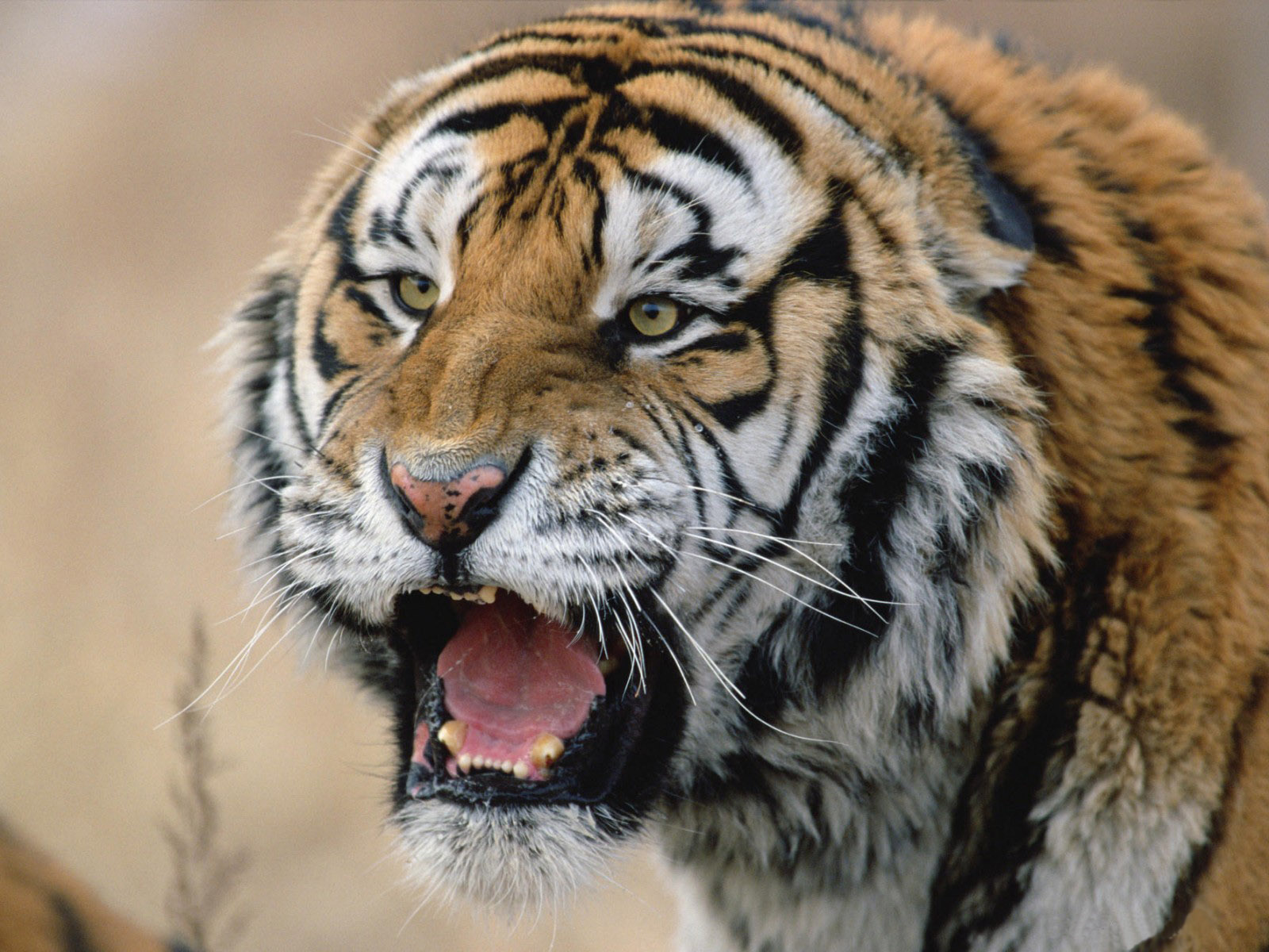 Tiger Wallpaper Android Apps on Google Play × Tiger