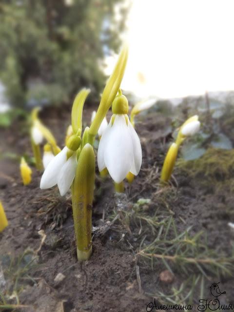 Весна - нежные подснежники