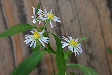 Panicled Aster - native wildflower