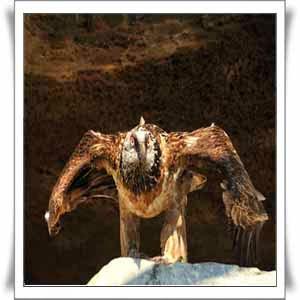 Lammergeier-Eagles