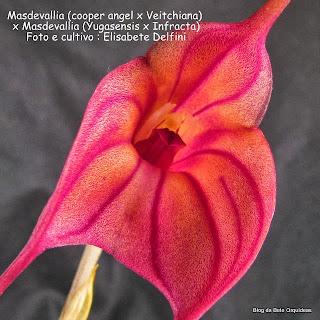 Masdevallia Cooper Angel, Masdevallia Veitchiana, Masdevallia Yumgasensis, Masdevallia infracta