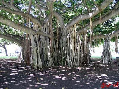 مجموعة من أغرب الاشجار حول العالم tree_9.jpg